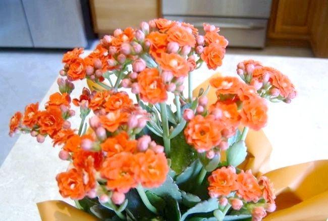 5 Причин, чому не цвіте каланхое