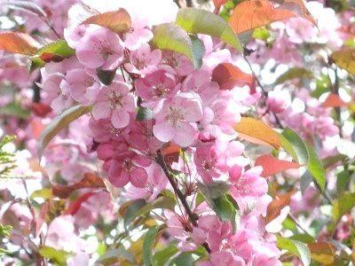 гілка квітучої яблуні