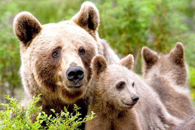 скільки живе бурий ведмідь