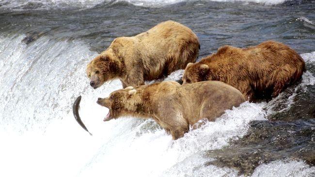 бурий ведмідь опис