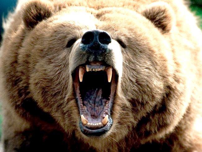 вага ведмедя бурого