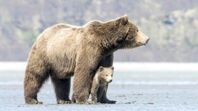 ведмідь в природі бурий