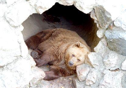 життя бурих ведмедів