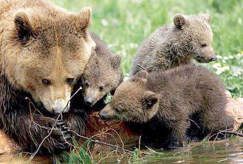 великий бурий ведмідь