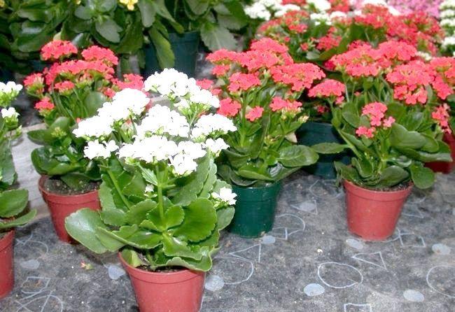 Що робити, якщо каланхое квітучий не цвіте?