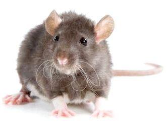 Що означає щур у сні?