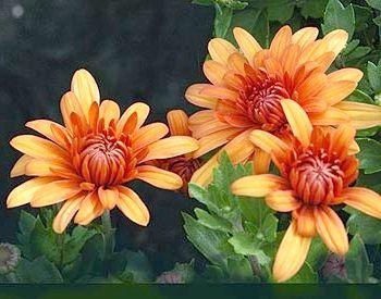 хризантема догляд в домашніх умовах