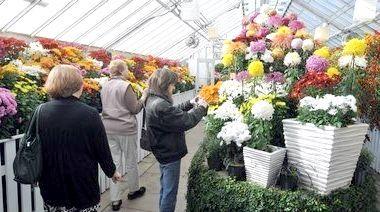 вирощування хризантем в домашніх умовах