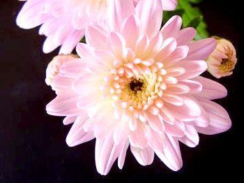 хризантема в домашніх умовах