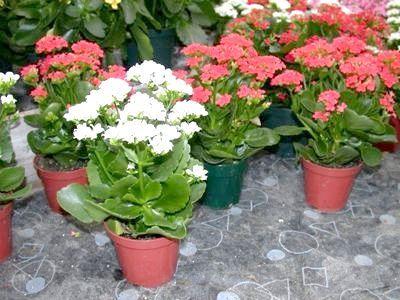 Чудова квітка каланхое: догляд в домашніх умовах