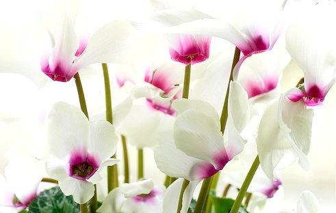 Кімнатні квіти цикламен