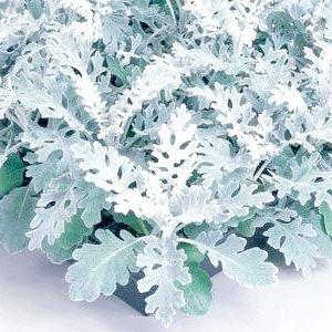Цинерарія срібляста (вирощування)