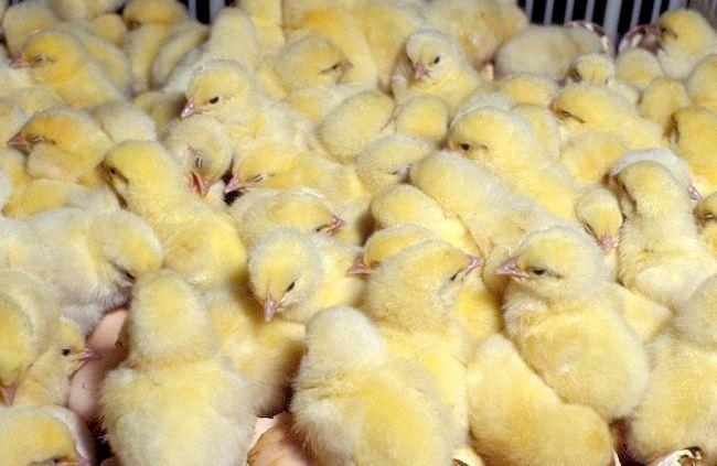Курча бройлер: вирощування, годування, освітлення, умови Утримання