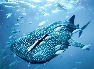 Давайте розберемося в тому, яка найбільша акула на землі
