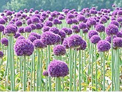 Декоративний лук - яскраві кульки у вашому саду