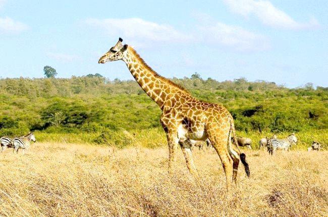 африканський тваринний світ
