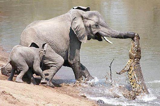 африканські парнокопитні тварини