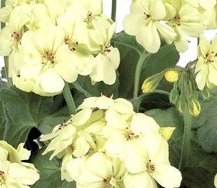 герань кімнатна рослина