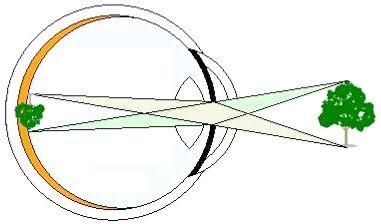 Оптична система ока включає