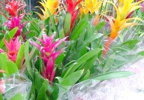 кімнатна квітка гузмания