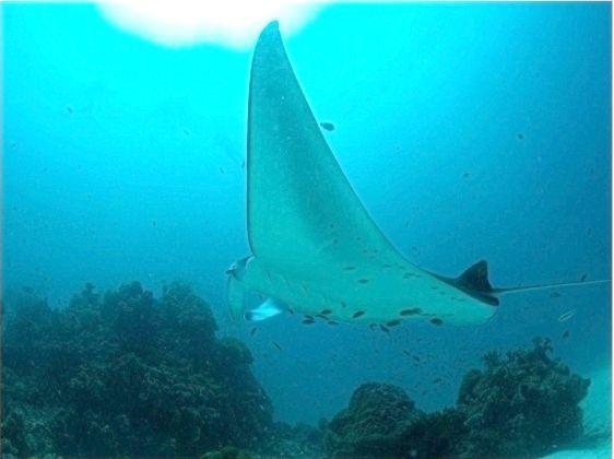 Хрящові риби - дивовижні істоти морських і океанічних глибин