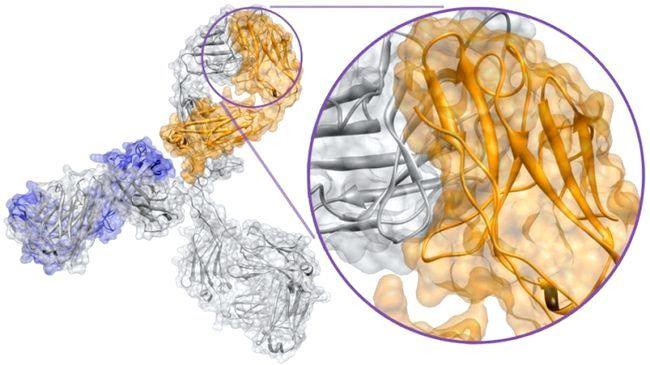імуноглобулін g підвищений