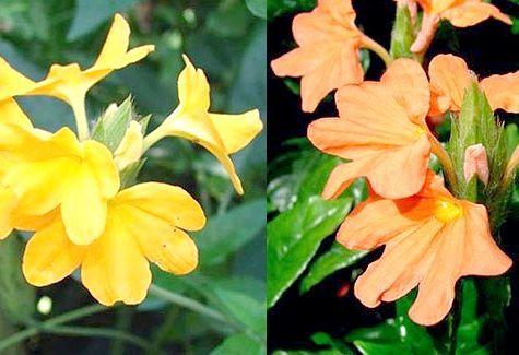 Екзотична квітка кроссандра! Догляд в домашніх умовах