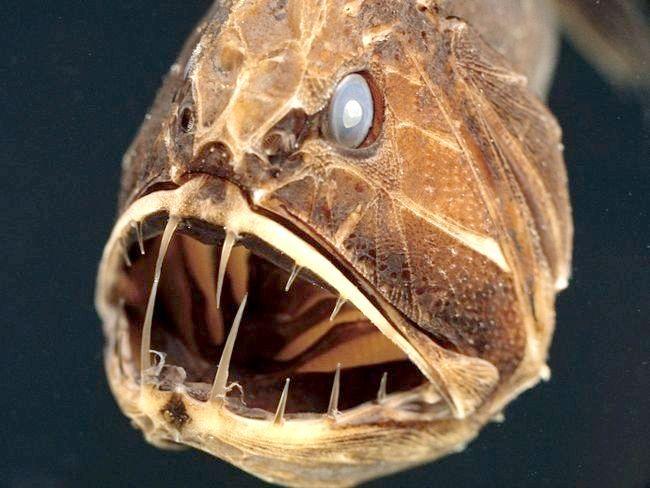 Ці таємничі мешканці океанічного дна: глибоководні риби