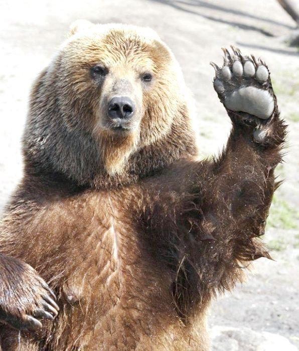 до чого сниться ведмідь