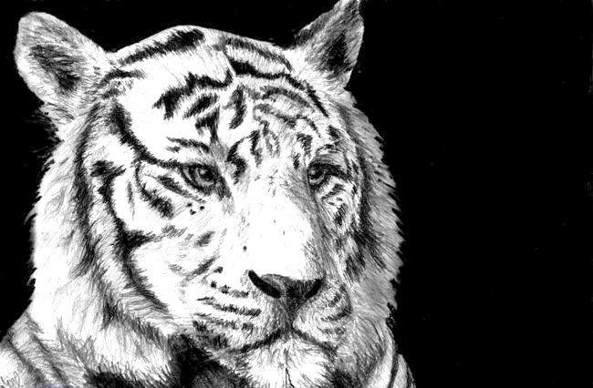Як намалювати тигра. Від складного до простого