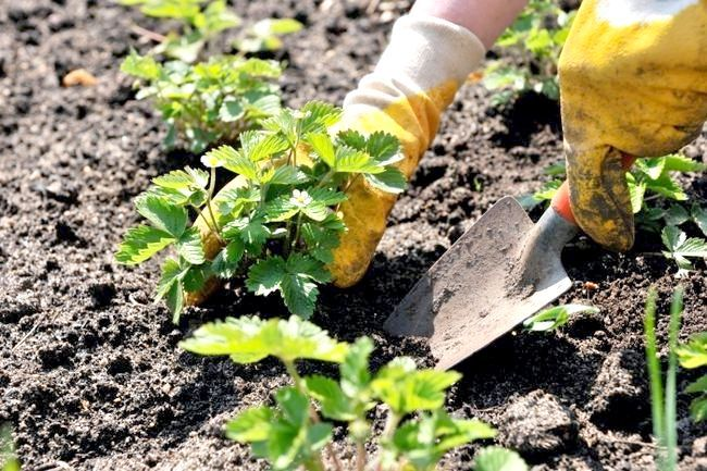Як посадити полуницю? Основні правила