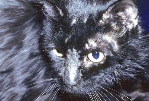 Як виглядає лишай у кішок, і як його можна лікувати?