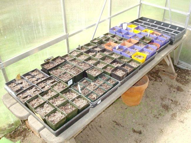 Як виростити огірки в теплиці?