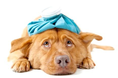 нормальна температура у собак