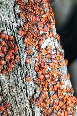 солдатики комаха