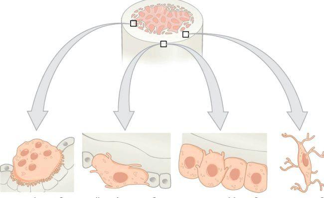 Відновлення кісткової тканини.