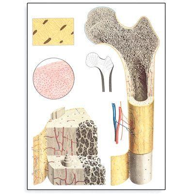 Кістково-м'язова тканина.