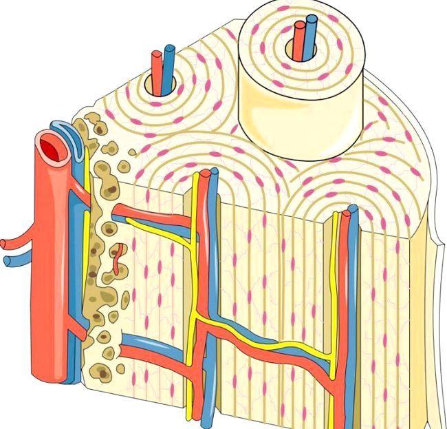 Кісткова тканина.