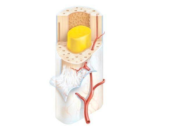 Склад кісткової тканини.