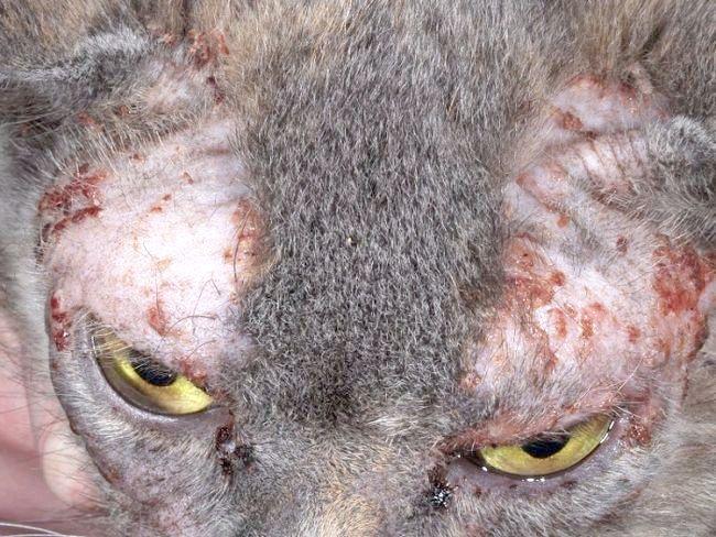 шкірні захворювання у кішок лікування