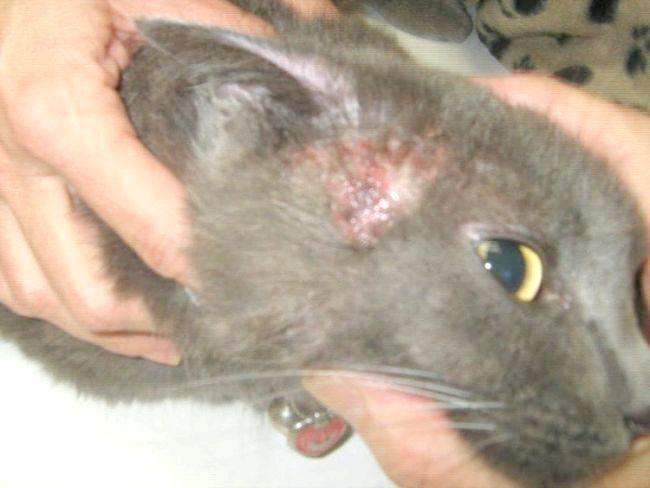 шкірні захворювання у кішок на вухах