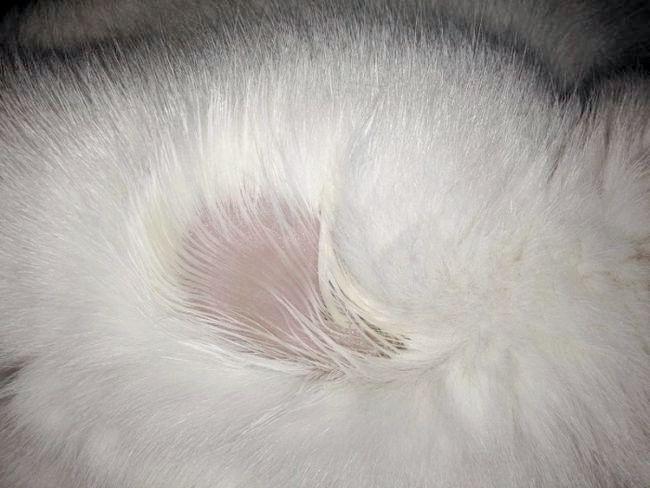 шкірні захворювання у кішок фото та лікування