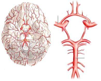 кровопостачання головного мозку