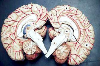 система головного мозку
