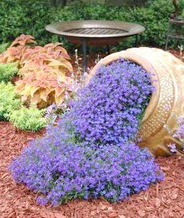 Лобелія в саду