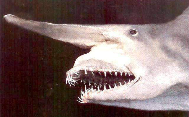 Маловивчена акула-гоблін