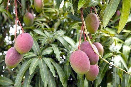 Калорійність манго свіжого