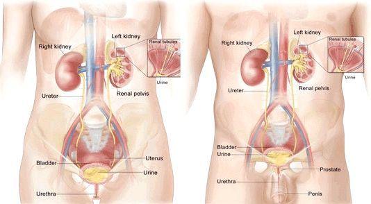 сечовий міхур анатомія