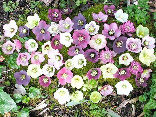 квіти морозник посадка і догляд