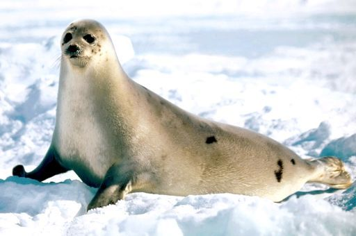 морська тварина сімейства тюленів